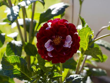 dahlia: Red and white dahlia flower