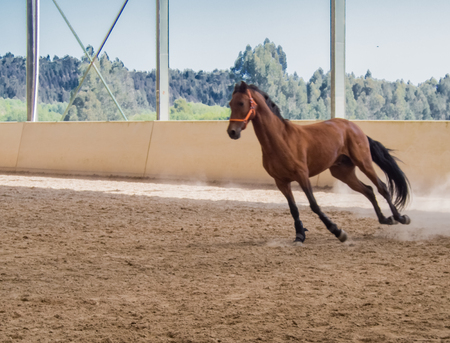 Horse training in wooden arena Stock Photo