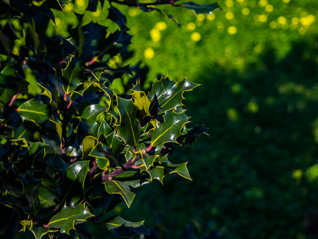 Leaves of holly tree in a sunny day Stock Photo