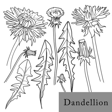 Dandelion flower. Isolated outlined vector set on white. Herbal and cosmetic plant. Eco and health related organic product design elements. Hand drawn illustration. Menu, tee package, print decor.