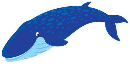 whale: Rorqual bleu Illustration