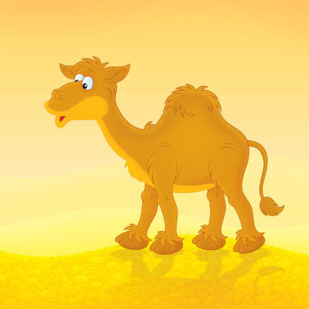 humped: camel going in a desert Stock Photo