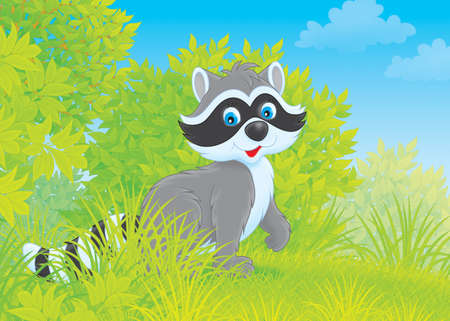 racoon:  Raccoon  Stock Photo