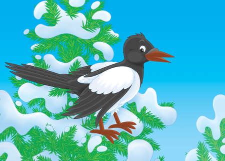 snowcovered: magpie perched on a snow-covered fir tree Stock Photo