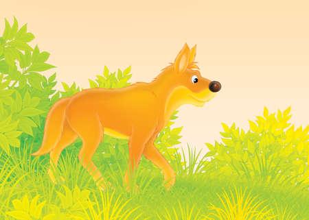 dingo: Wild dog dingo Stock Photo
