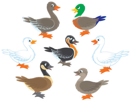 wildfowl: Ducks and geese