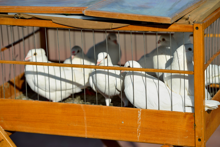 White doves sit for iron rods in a wooden cage. Close up. Horizontal view.