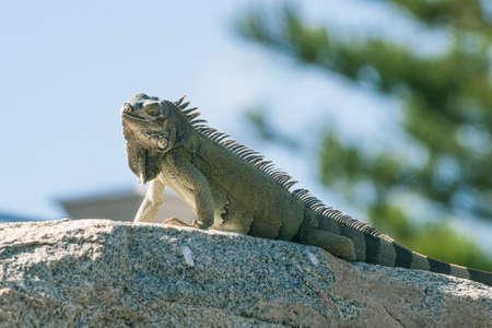 lizzard: Lizzard on a rock Stock Photo