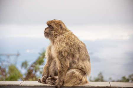 barbary: Adult Macaque on the Gibraltar Rock Stock Photo