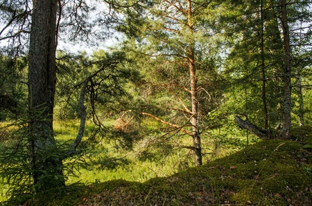 Forest background of several conifer trees against the sun-drenched lowlands photo