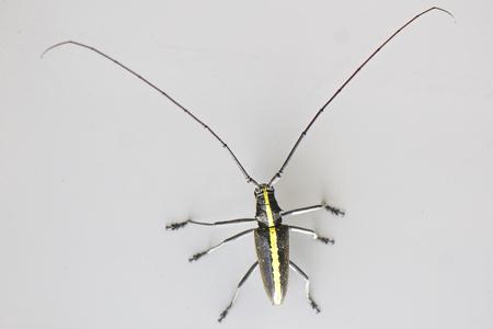 antennas: Beatle with very long antennas