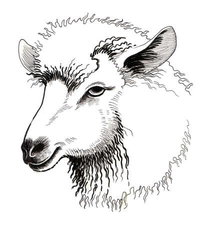 Cheep head. Hand drawn ink illustration on a white background. Stock fotó