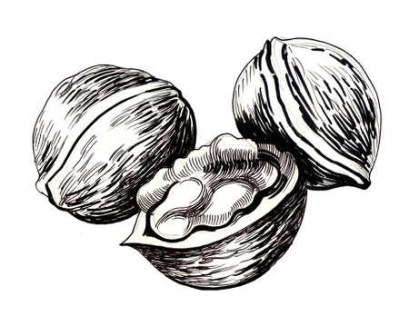 Walnuts. Ink illustration 版權商用圖片