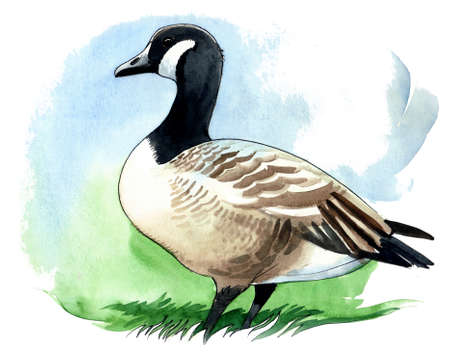 Canadian goose Imagens - 90411981