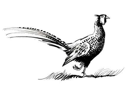 Pheasant bird. Ink black and white illustration