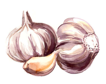 Watercolor sketch of a garlic