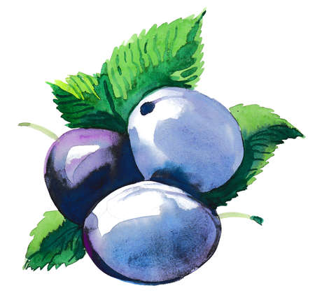 Watercolor plum fruit