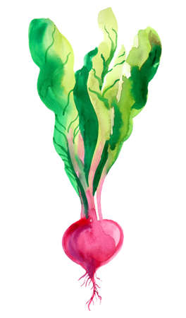 Watercolor radish vegetable