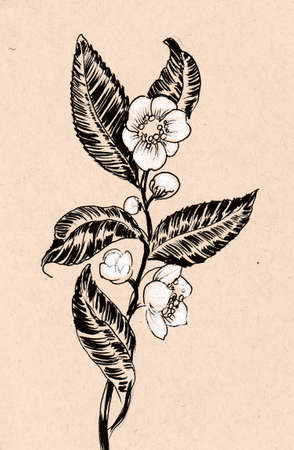 Blossoming tea plant. Ink drawing