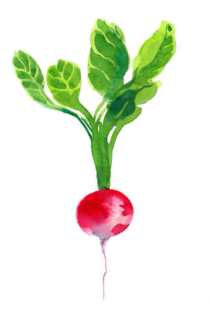 Red radish root illustration