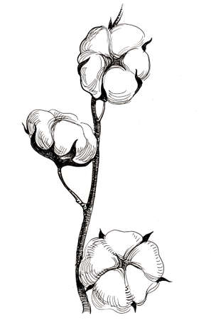 Cotton plant. Ink black and white drawing