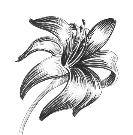 Ink black and white drawing of a lily flower Banque d'images - 106512669
