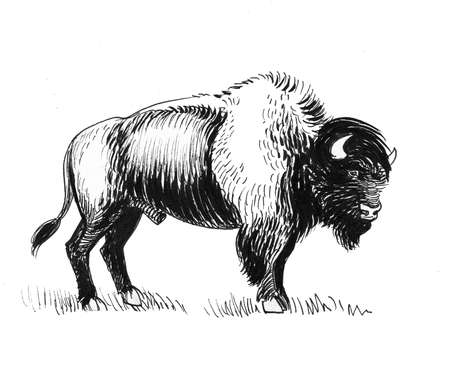 Bison bull. Ink black and white drawing
