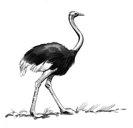 Common African ostrich bird. Ink black and white drawing
