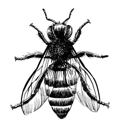 Regular bee. Ink black and whit edrawing