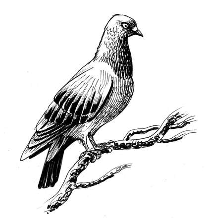 Pigeon bird on a tree. Ink black and white drawing