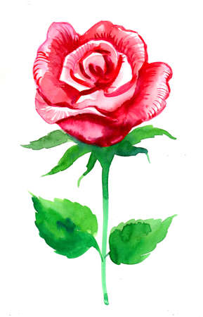 Red rose flower. Watercolor painting Zdjęcie Seryjne - 137592434