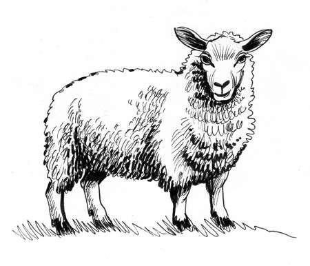 Standing sheep. Ink black and white drawing Zdjęcie Seryjne - 137592458