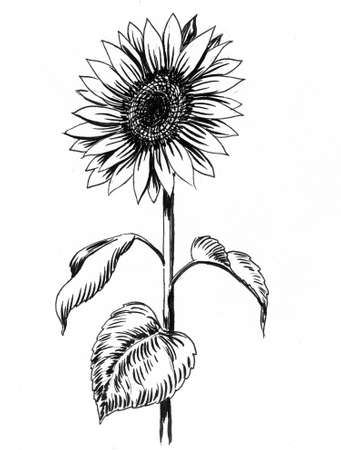 Sunflower plant. Ink black and white drawing Zdjęcie Seryjne