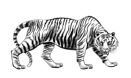Angry walking tiger. Ink black and white drawing 版權商用圖片