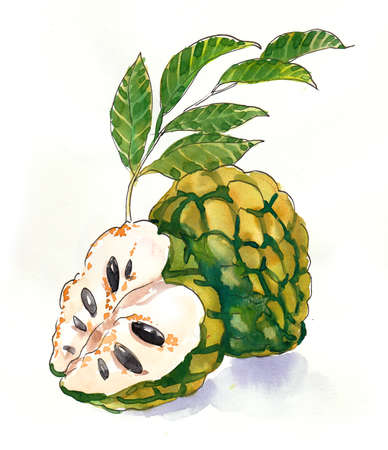 Sugar-apple fruit. Ink and watercolor illustration