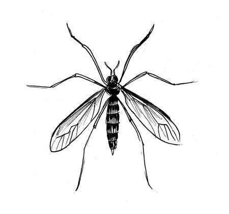 Mosquito insect. Ink black and white drawing Zdjęcie Seryjne - 137766498