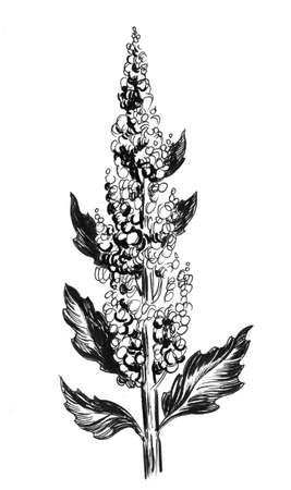 Quinoa plant. Ink black and white drawing Zdjęcie Seryjne - 137766901