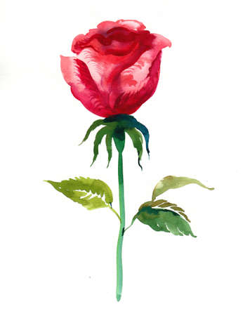 Red rose flower watercolor painting