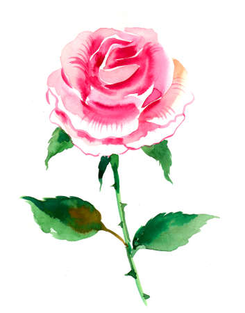 Pink rose flower. Watercolor painting