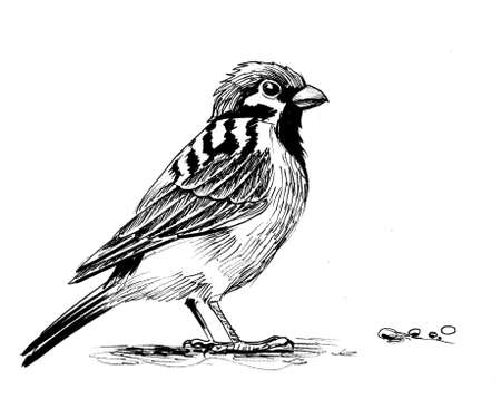 Sparrow bird. Ink black and white drawing Фото со стока