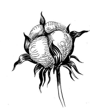 Cotton plant, Ink black and white drawing
