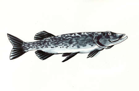 Pike fish. Ink and watercolor illustration 版權商用圖片