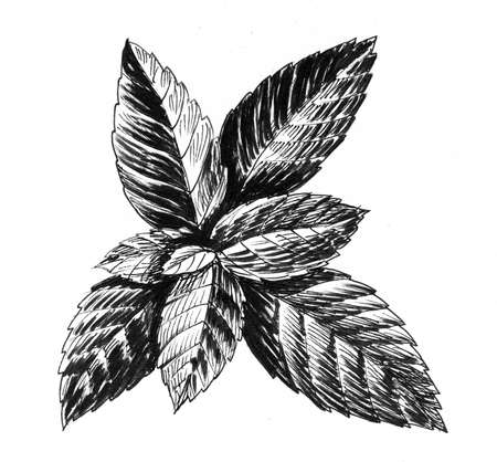Mint leaves drawing on white