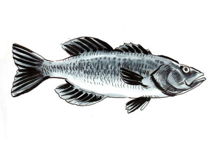 Sea fish drawing on white