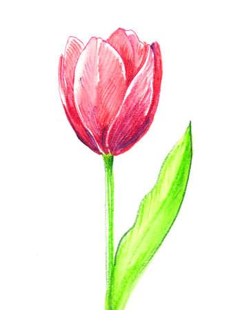 Pink tulip flower. watercolor painting Zdjęcie Seryjne