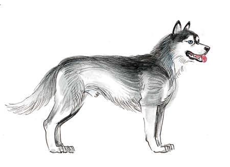 Standing husky dog. Ink and watercolor drawing Zdjęcie Seryjne