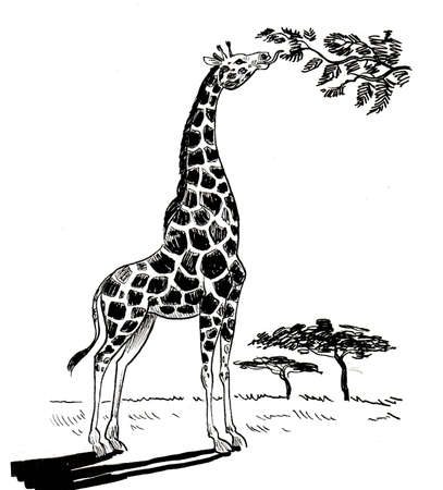 Giraffe animal eating leaves from the tree in the savanna. Ink black and white drawing Standard-Bild