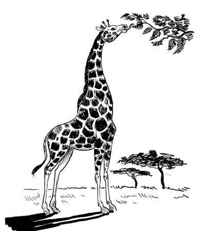 Animal jirafa comiendo hojas del árbol en la sabana. Dibujo en blanco y negro de tinta Foto de archivo