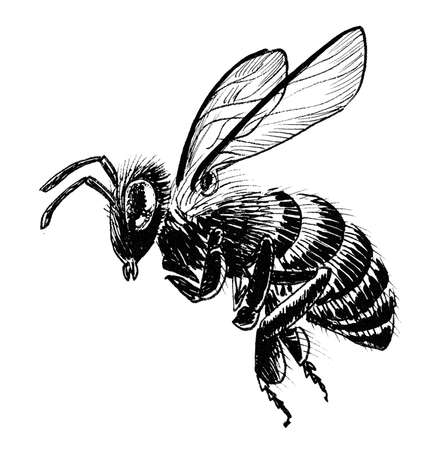 Flying honey bee. Ink black and white drawing
