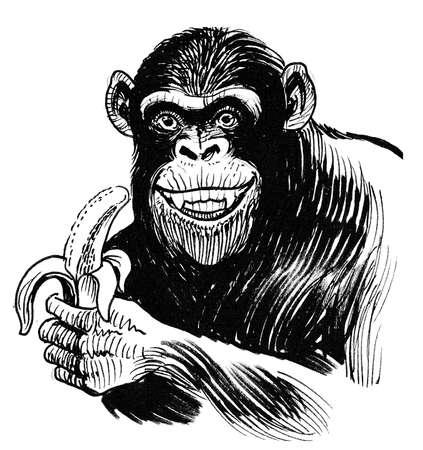 Chimpanzee eating banana. Ink black and white drawing